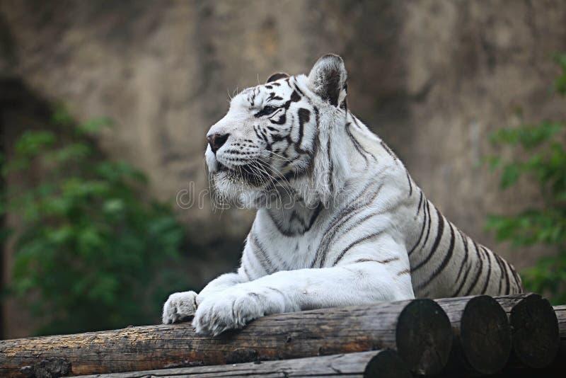 Witte albinotijger stock afbeeldingen