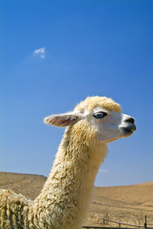 Witte alpaca royalty-vrije stock afbeelding