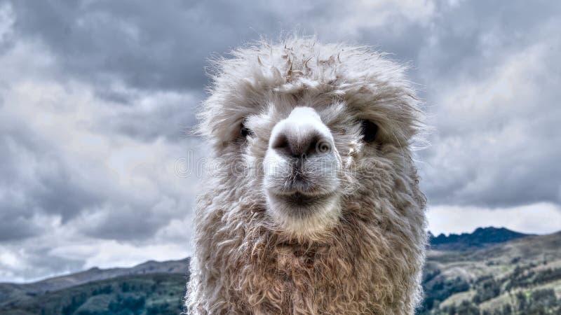 Witte alpaca royalty-vrije stock foto