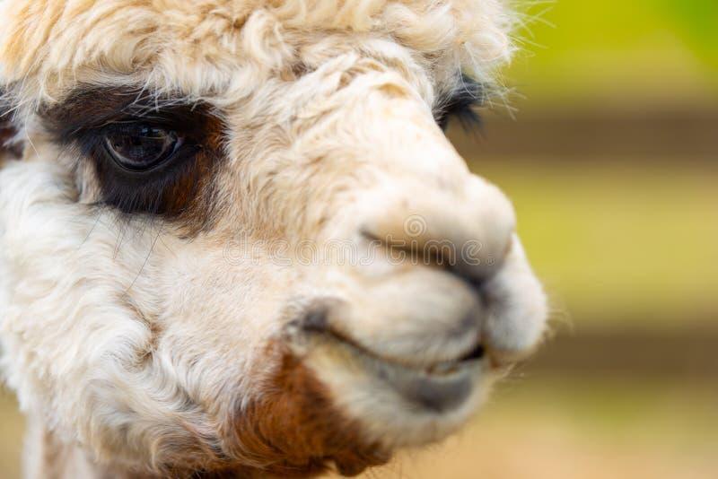 Witte alpaca met donkere ogen voor omheining stock afbeelding