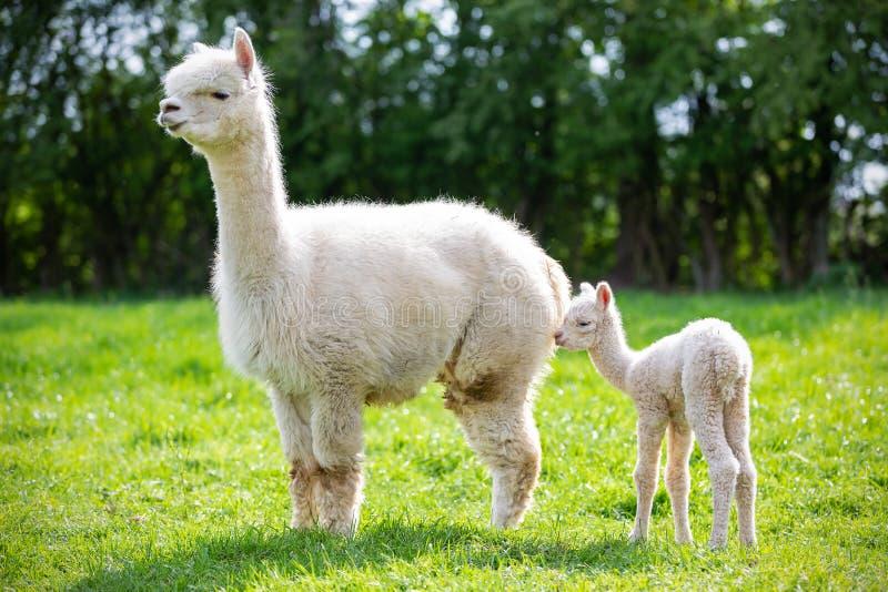 Witte Alpaca met nakomelingen royalty-vrije stock foto's