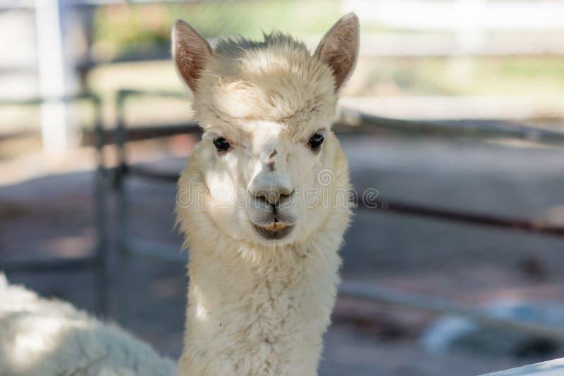 Witte alpaca in zoooutdoor stock fotografie