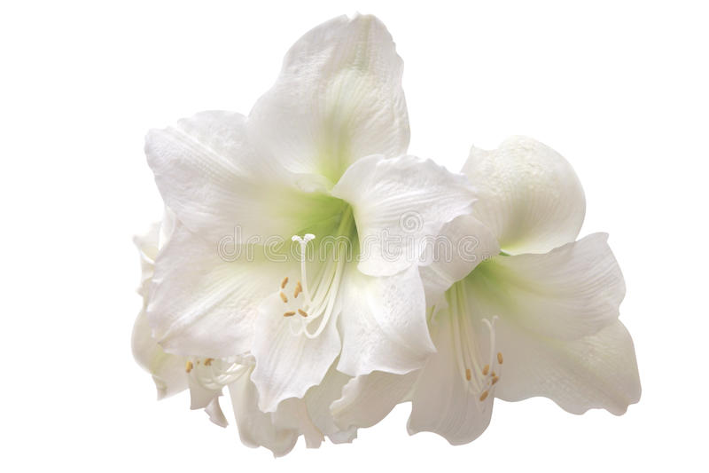 Witte amaryllis royalty-vrije stock afbeelding
