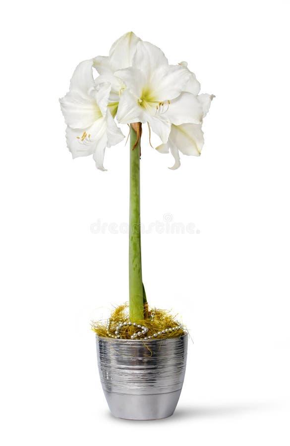 Witte amaryllis in pot royalty-vrije stock fotografie