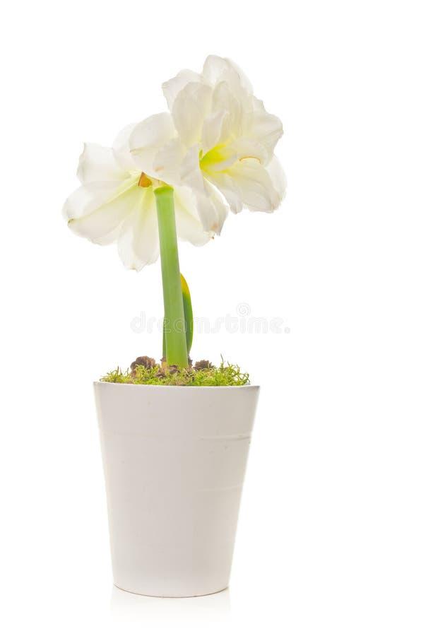 Witte Amaryllis (Soorten Hippeastrum) royalty-vrije stock fotografie