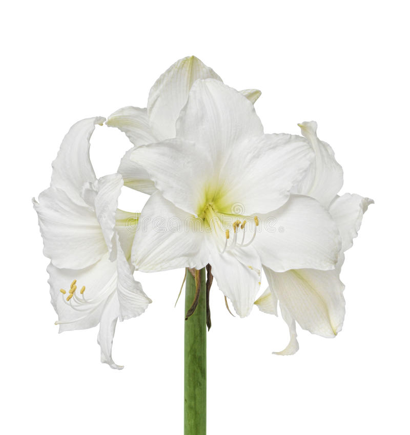 Witte amaryllisbloem royalty-vrije stock foto
