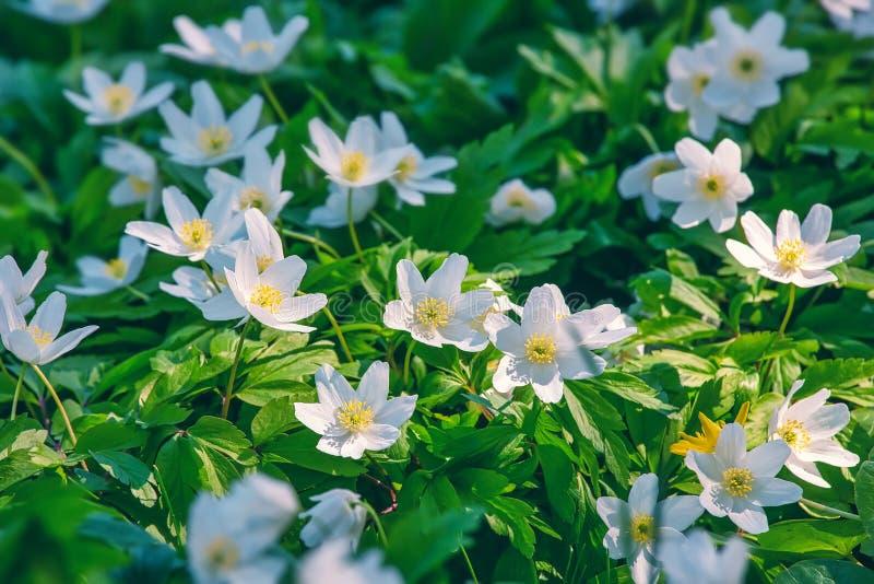 Witte anemonbloemen, landschapsontwerp, buitenachtergrond stock afbeelding