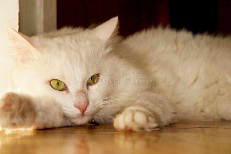 Witte (Angora) kat stock afbeeldingen