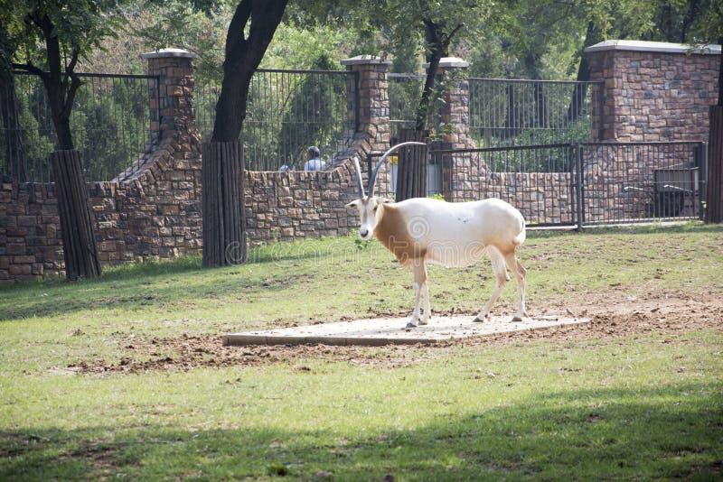 Witte antilope royalty-vrije stock afbeelding