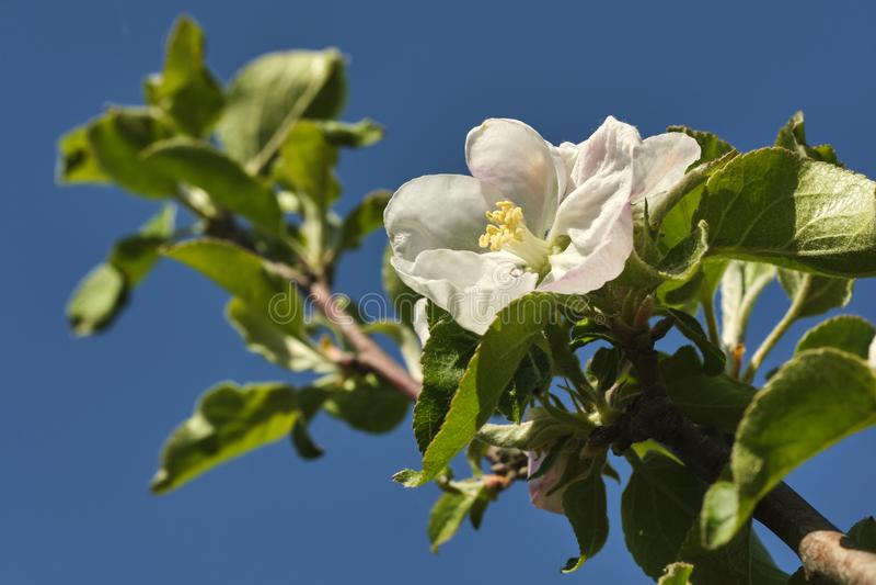 Witte Apple-bloesem stock afbeelding