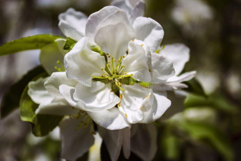 Witte Apple-bloesems op de achtergrond van groene bladeren stock afbeelding