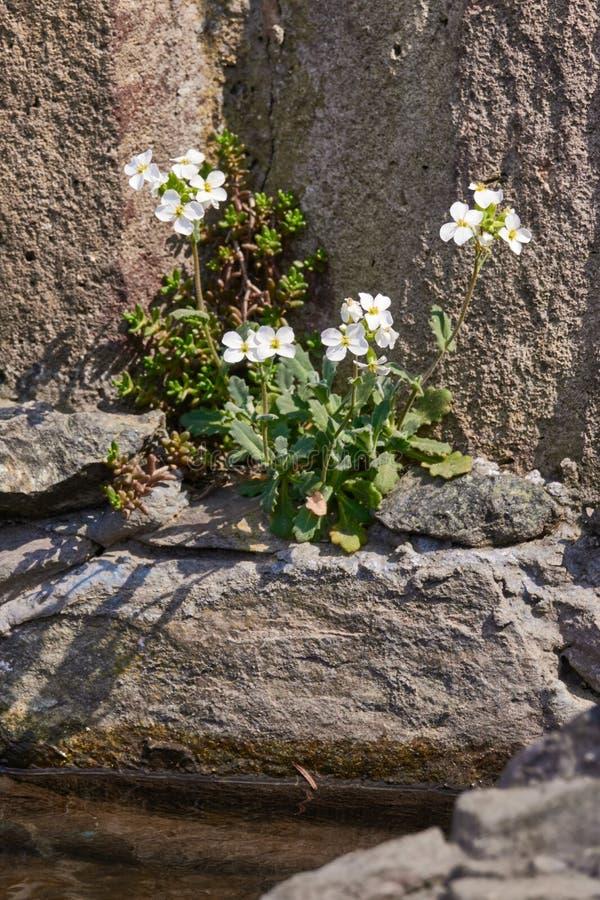 Witte Arabis-caucasicabloemen die op een rotsachtige grond groeien royalty-vrije stock afbeelding