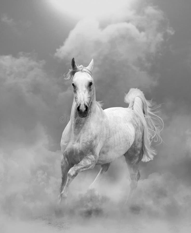 Witte Arabische hengst die in stof lopen royalty-vrije stock fotografie