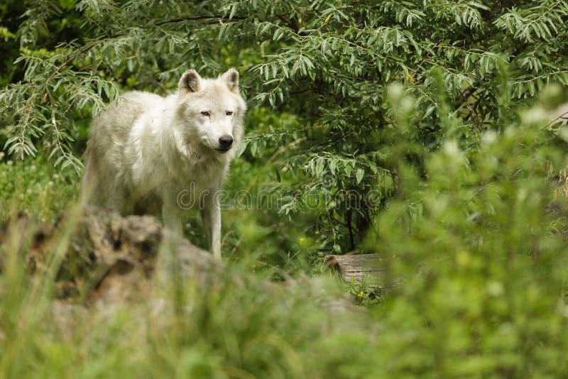 Witte artic wolf royalty-vrije stock afbeeldingen