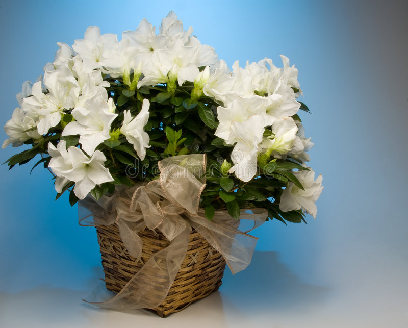 Witte Azalea royalty-vrije stock afbeelding