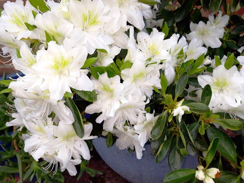 Witte azalea in blauwe pot stock fotografie