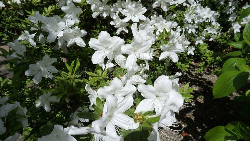 Witte azalea in de tuin royalty-vrije stock afbeelding