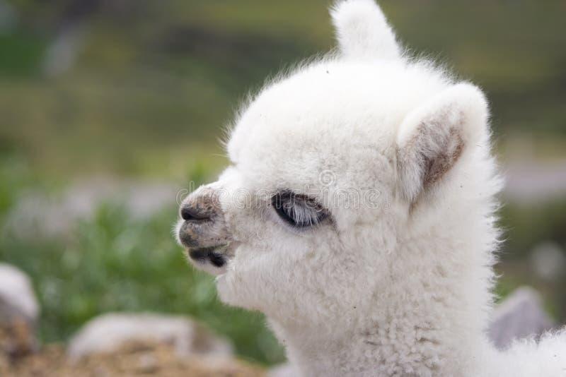Witte babyalpaca royalty-vrije stock afbeeldingen