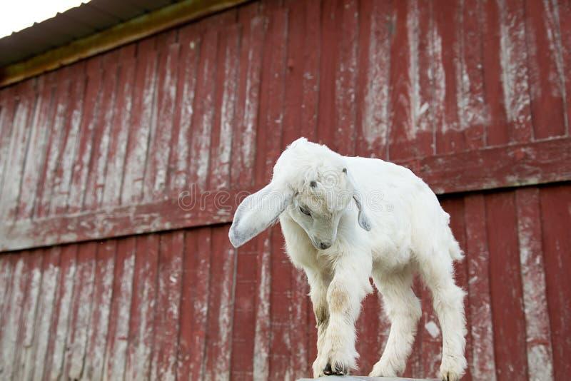 Witte Babygeit met Rode Schuur op Achtergrond stock foto's