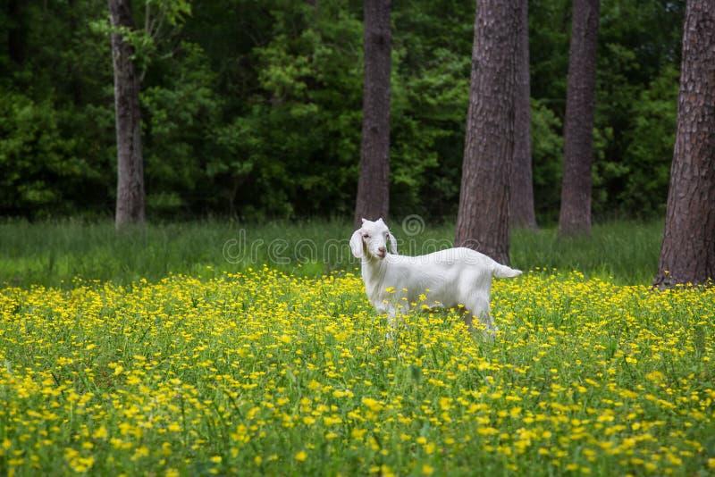 Witte Babygeit op het landbouwbedrijf op gebied van bloemen royalty-vrije stock foto's