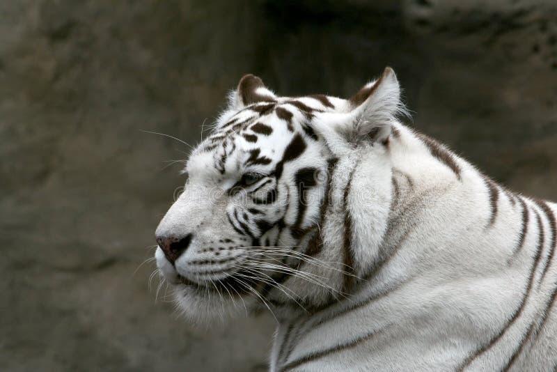 Witte Bengaalse tijger. stock foto's