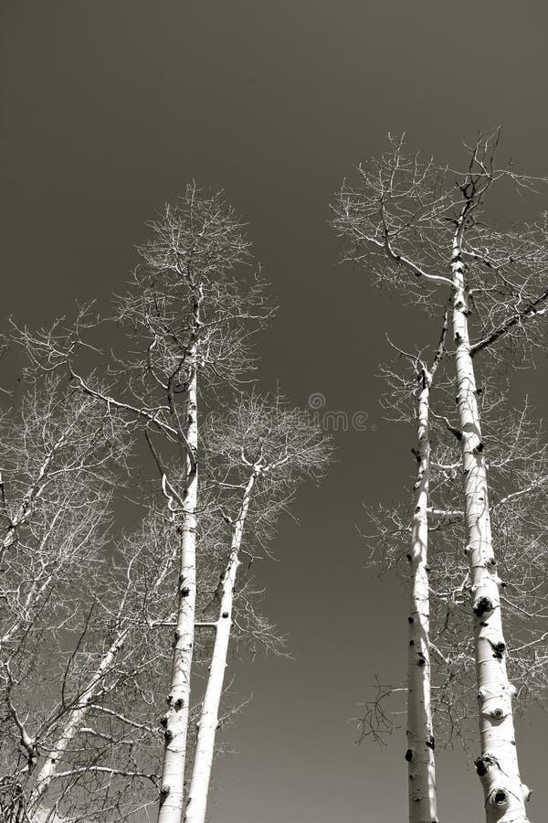Witte berkbomen op een blauwe hemel stock foto's