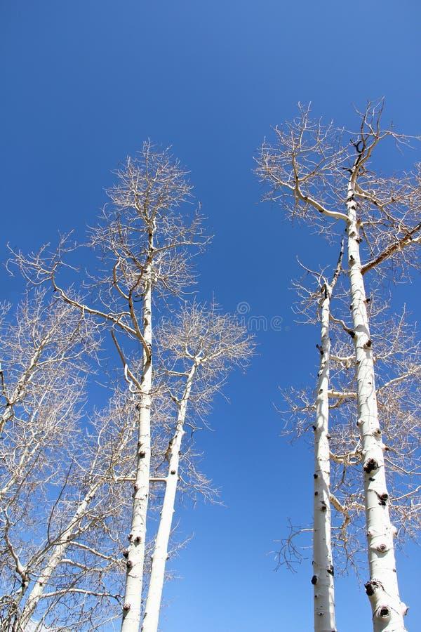 Witte berkbomen op een blauwe hemel royalty-vrije stock foto