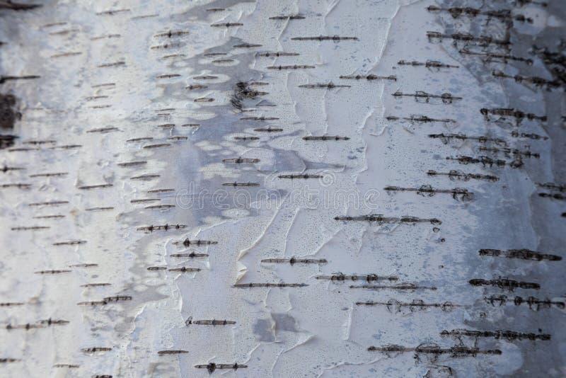 Witte berkeschorsachtergrond stock fotografie
