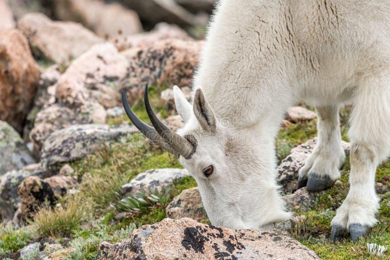 Witte Big Hornschapen - Rocky Mountain Goat stock afbeeldingen