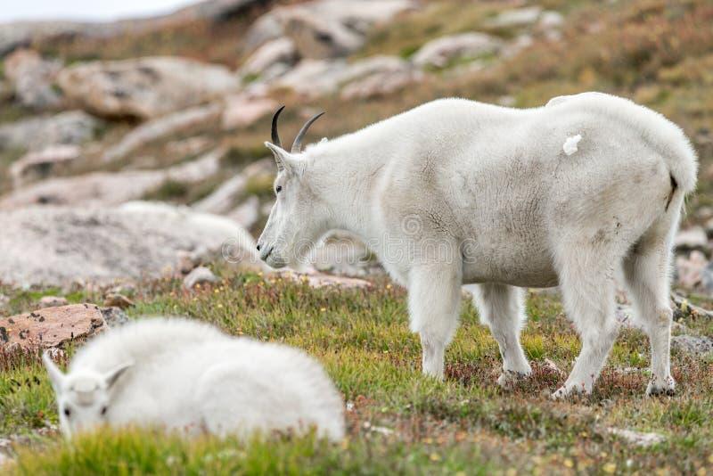 Witte Big Hornschapen - Rocky Mountain Goat royalty-vrije stock afbeelding