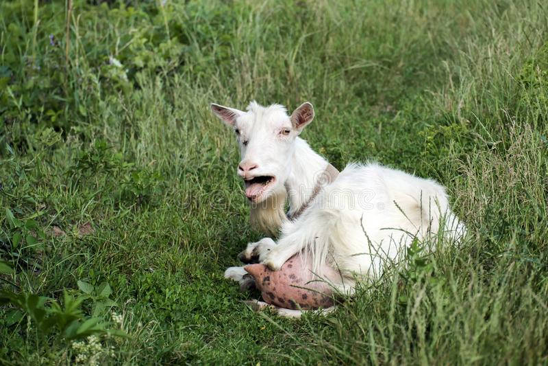 Witte binnenlandse geit die in verontwaardiging blaten stock foto