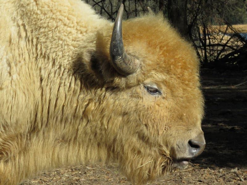 Witte bizon stock afbeelding