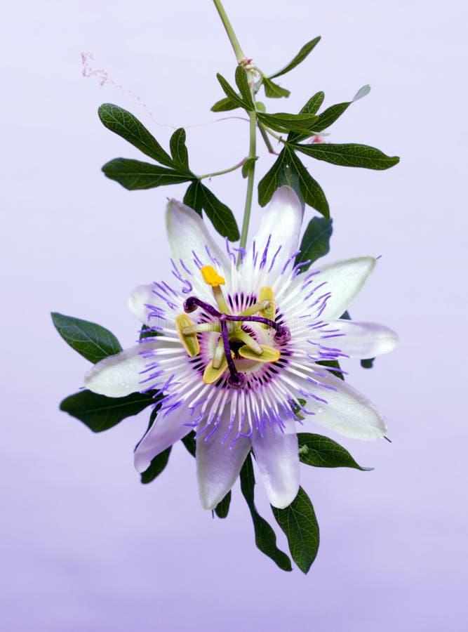 Witte blauwe de Passiebloemcaerulea van de hartstochtsbloem royalty-vrije stock afbeeldingen