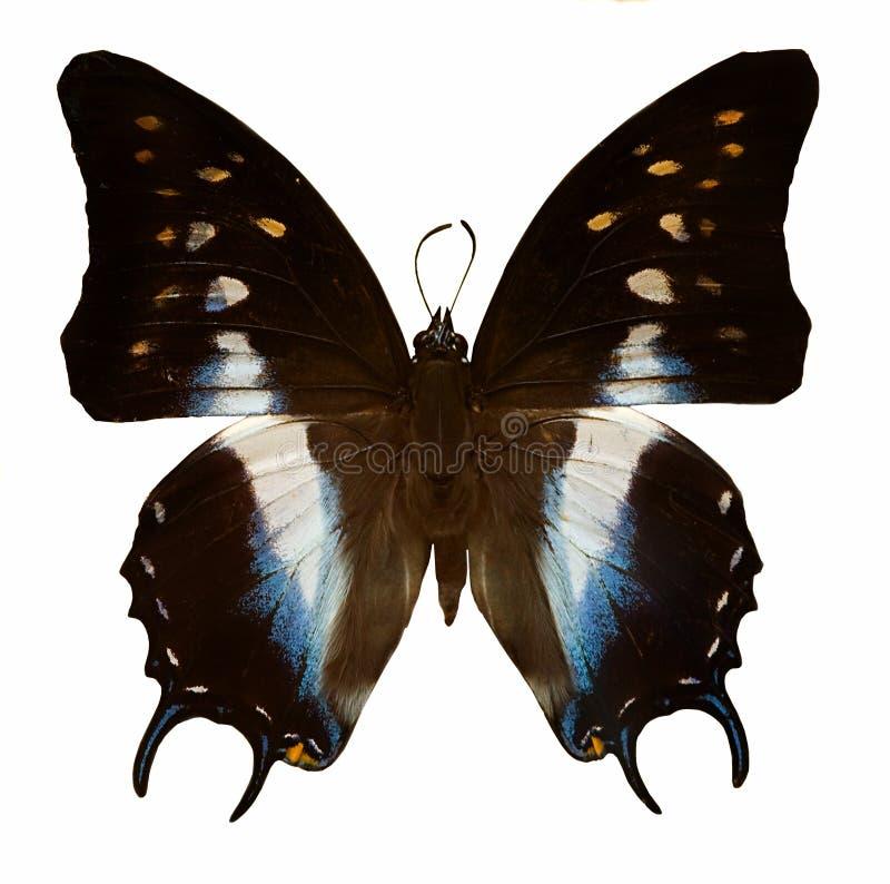 Witte, blauwe en zwarte vlinder royalty-vrije stock afbeelding