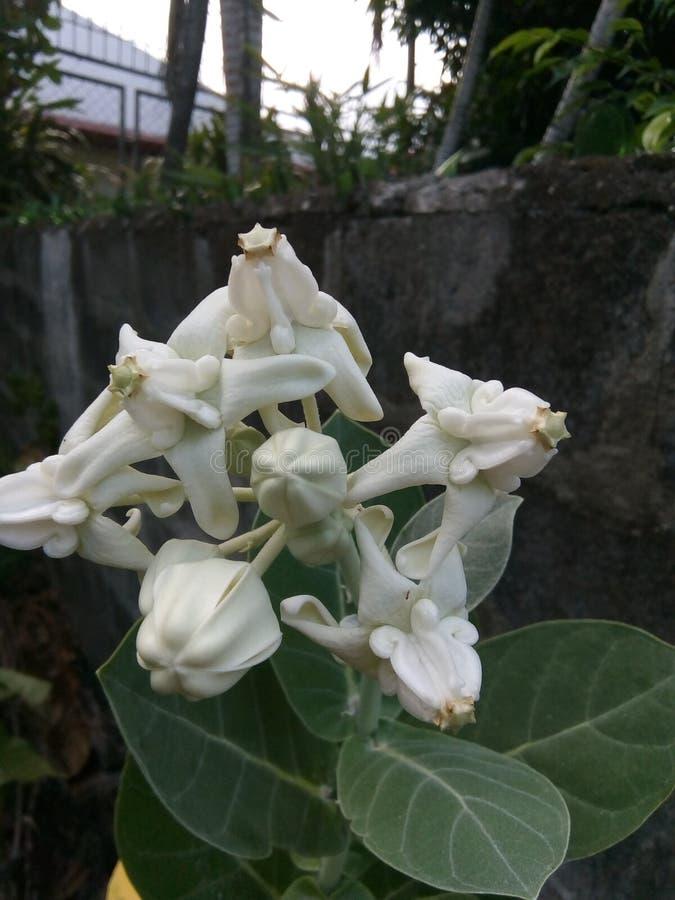 witte bloei royalty-vrije stock afbeelding