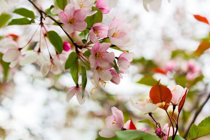 Witte bloeiende appelbomen royalty-vrije stock afbeelding
