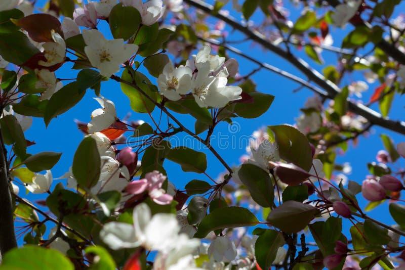 Witte bloeiende appelbomen stock foto