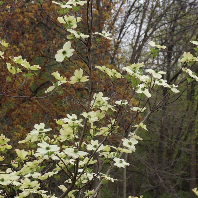 Witte bloeiende Cornus Florida van de kornoeljeboom royalty-vrije stock fotografie