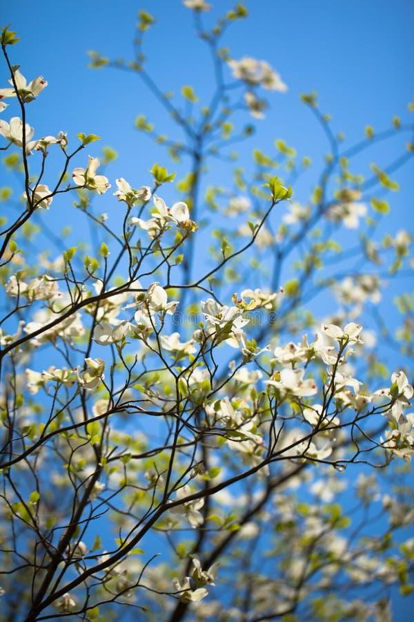 Witte bloeiende kornoeljeboom in bloei in blauwe hemel royalty-vrije stock foto