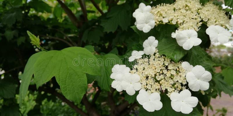 Witte bloeiwijzen van viburnum tegen een achtergrond van donkergroene bladeren royalty-vrije stock afbeelding