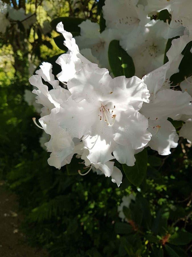 Witte bloem royalty-vrije stock afbeelding