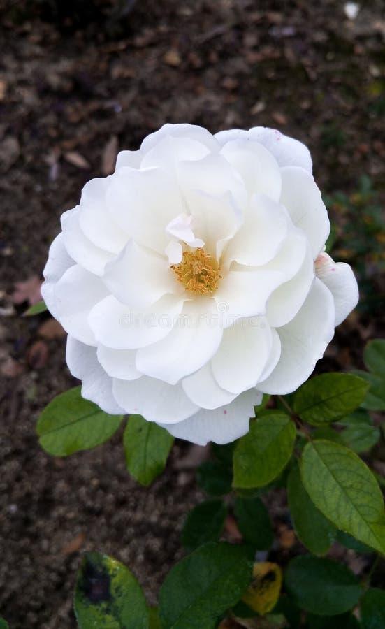 Witte bloem bij de Botanische Tuinen van Descanso royalty-vrije stock foto's