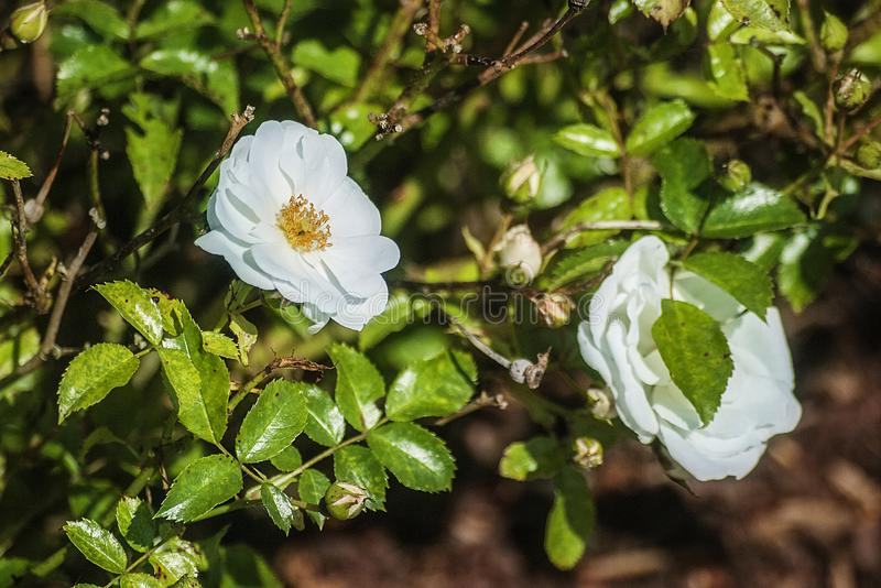 Witte Bloem in de Zon van de de Zomerschoonheid royalty-vrije stock afbeeldingen