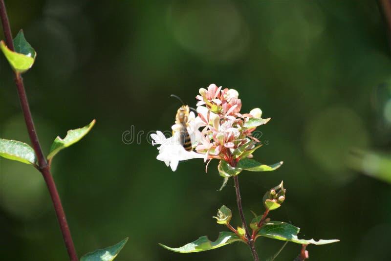 Witte bloem die met wesp stuifmeel verzamelen royalty-vrije stock fotografie