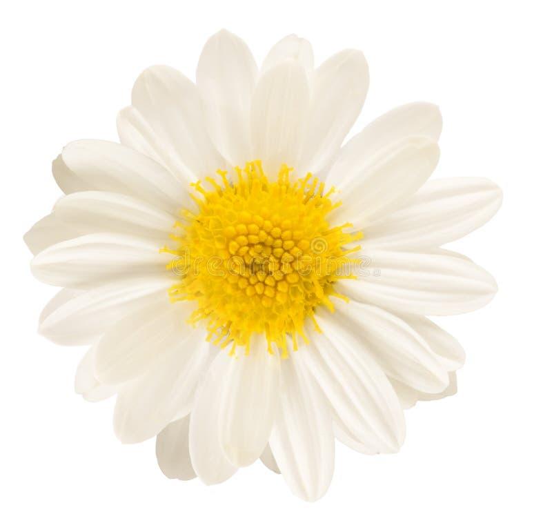 Witte bloem die op wit wordt geïsoleerdb royalty-vrije stock afbeelding
