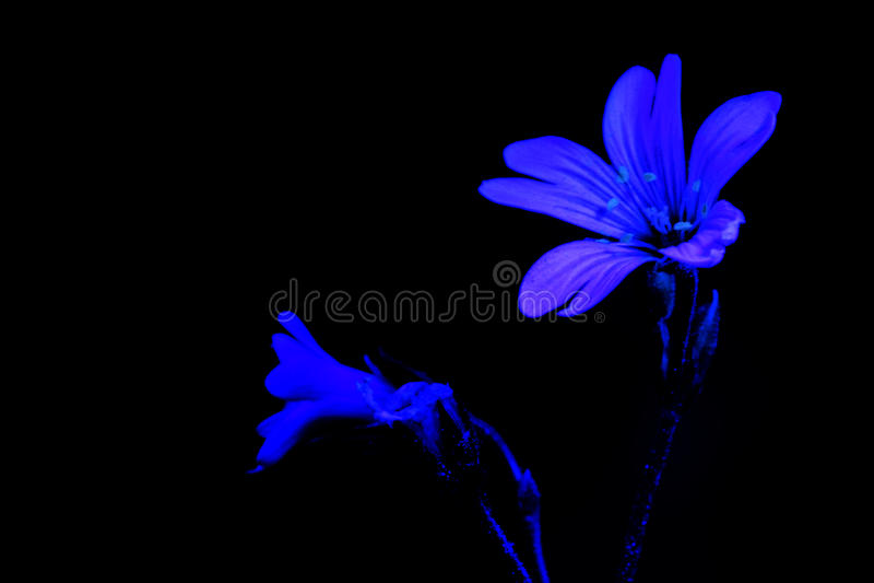 Witte bloem door ultraviolet licht royalty-vrije stock fotografie