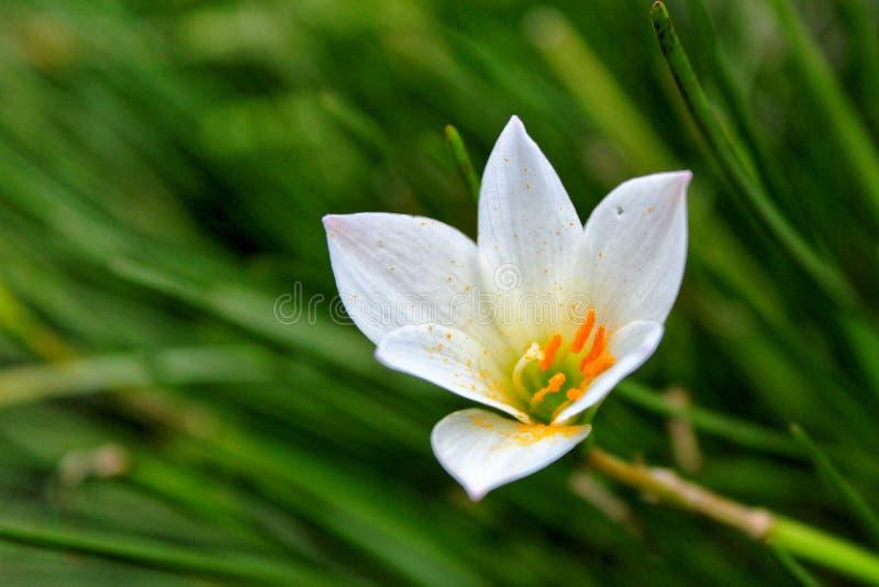 Witte bloem in het gras royalty-vrije stock fotografie