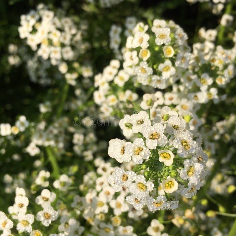 Witte bloem met dauw stock afbeelding
