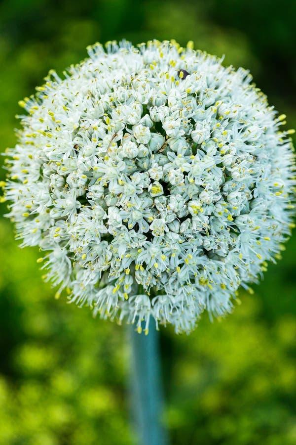 Witte bloem met dichte bloemblaadjes die de vorm van een gebied met kleine gele punten van stamens vormen Het ziet zeer eruit royalty-vrije stock foto