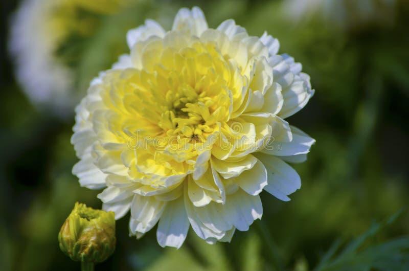 Witte bloem met geel stuifmeelcentrum die in een tuin in een zonnige dag tijdens de lente bloeien stock foto